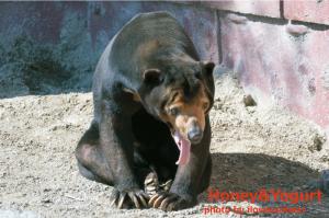 東山動物園 マレーグマ マー君