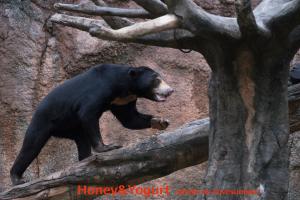 平川動物公園 マレーグマ ハニイ
