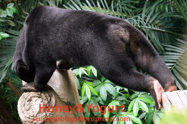 のいち動物公園 ジャングルミュージアム マレーグマ