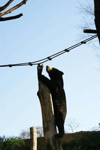 マレーグマ ウメキチ 上野時代