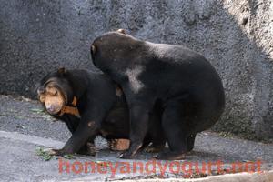 豊橋総合動植物公園 のんほいパーク マレーグマ ノン ノア