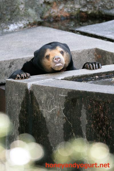 豊橋総合動植物公園 マレーグマ ノア