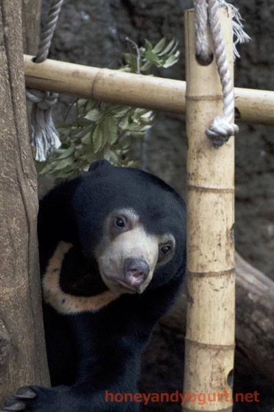 上野動物園 マレーグマ フジ