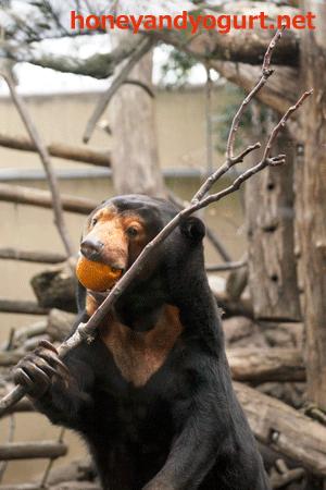 上野動物園 マレーグマ キョウコ