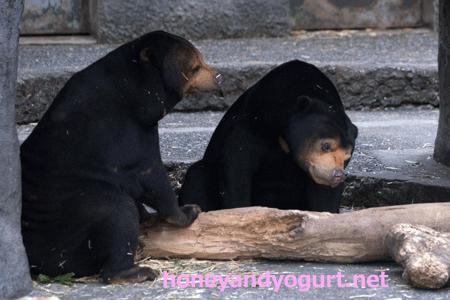 豊橋総合動植物園 のんほいパーク マレーグマ ノン ノア