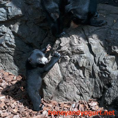 上野動物園 2012年 マレーグマ フジ モモコ