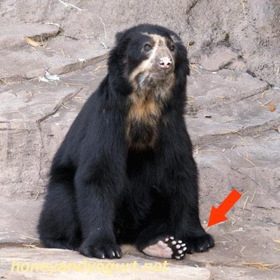 天王寺動物園 メガネグマ 足の裏
