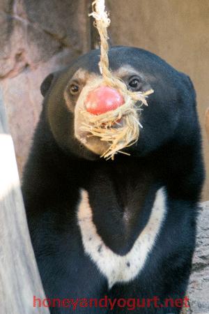 マレーグマ フジ 上野動物園時代