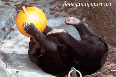 上野動物園時代のマレーグマ フジ