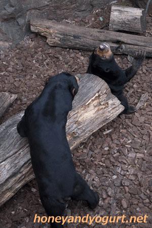 上野動物園 マレーグマ アズマ モモコ