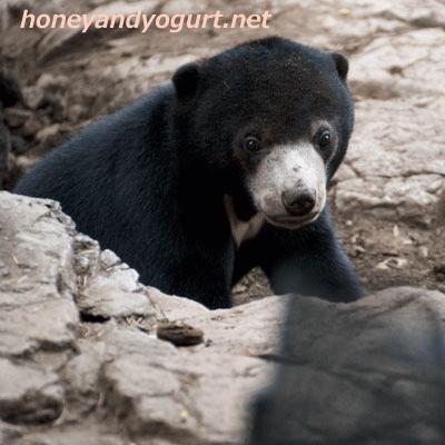 上野動物園時代 マレーグマ フジ