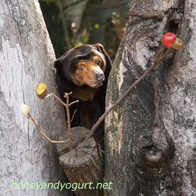 上野動物園 マレーグマ キョウコ kyoko the sunbear  uenozoo,tokyo