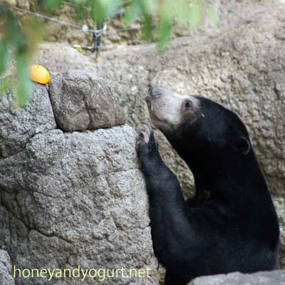 マレーグマ ウメキチ 上野動物園時代 Umekichi the sunbear (May,2011)