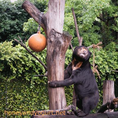 上野動物園 マレーグマ アズマ