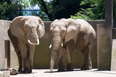 熊本市動植物園 アフリカゾウ