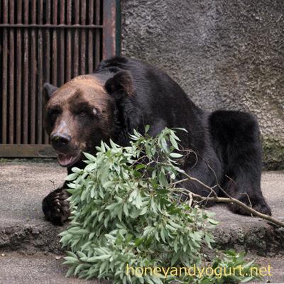 豊橋総合動植物公園 のんほいパーク エゾヒグマ