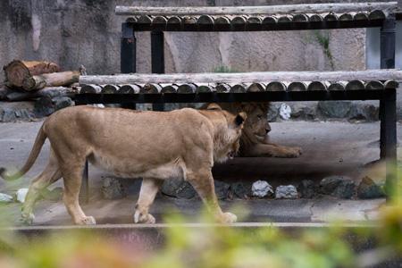 豊橋総合動植物公園 のんほいパーク ライオン