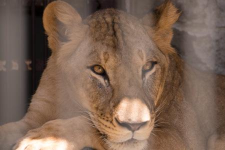 山梨県 甲府市 遊亀公園附属動物園 ライオン