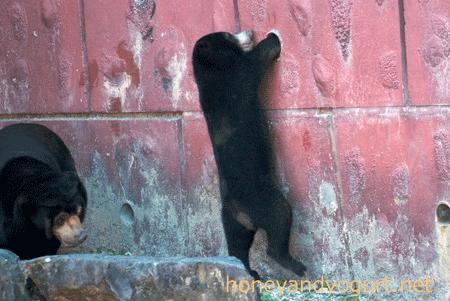 東山動物園 マレーグマ マー子 マーチン