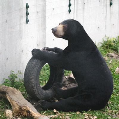 札幌市円山動物園 マレーグマ ウメキチ