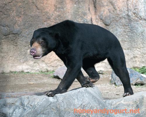 鹿児島市 平川動物公園 マレーグマ ハニイ