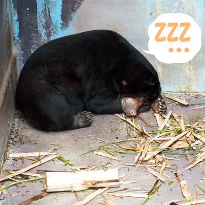 のいち動物公園 マレーグマ タオチイ