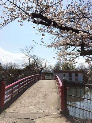 遊亀公園附属動物園 桜