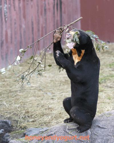 東山動植物園 マレーグマ マーチン