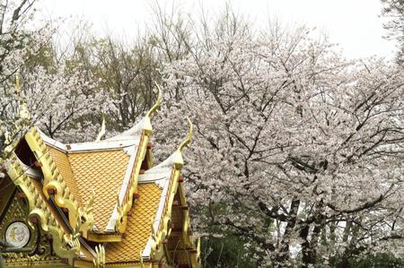 上野動物園 サーラータイ 桜