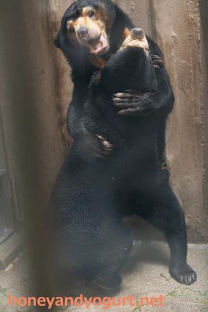 東山動物園 マレーグマ マー子 マーネ