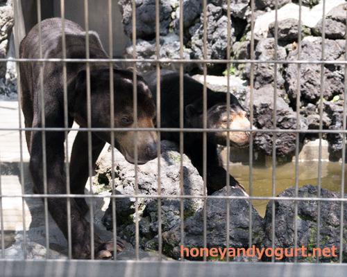 甲府市遊亀公園附属動物園 マレーグマ サンディ サクラ