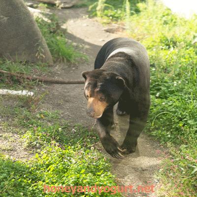 円山動物園 マレーグマ ハッピイ