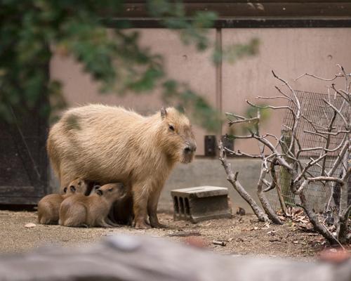 とべ動物園 カピバラ親子