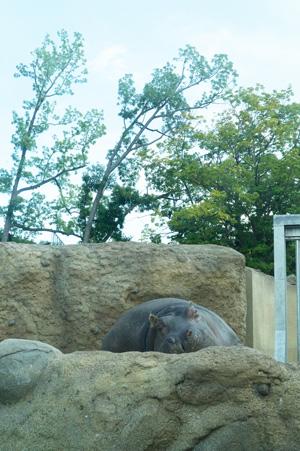 円山動物園 アフリカゾーン カバ