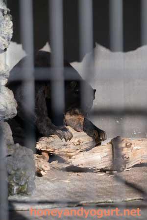 甲府市 遊亀公園附属動物園 マレーグマ サクラ