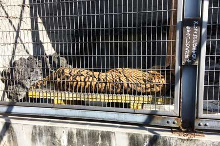 甲府市 遊亀公園附属動物園 トラ