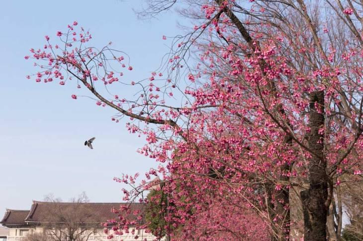 上野公園 カンヒザクラ