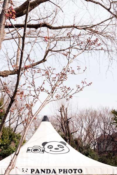 上野動物園 園内 ヨウコウザクラ