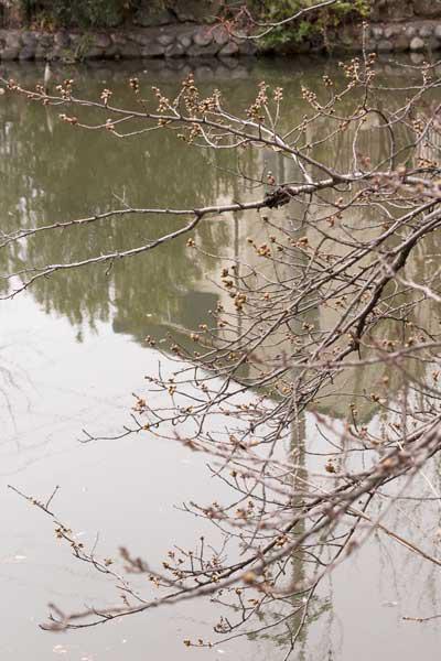 遊亀公園 園内 桜の木