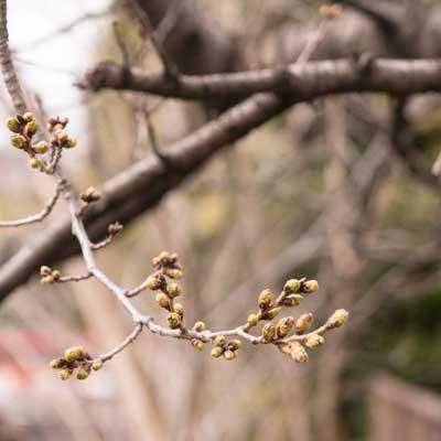 遊亀公園 園内 桜の蕾
