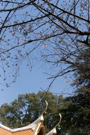 上野動物園 園内 ソメイヨシノ