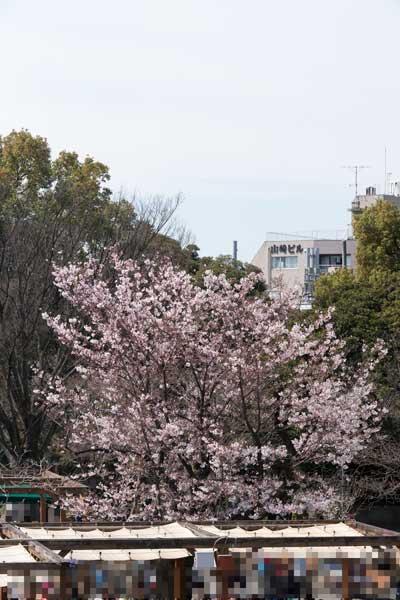上野動物園 園内 桜