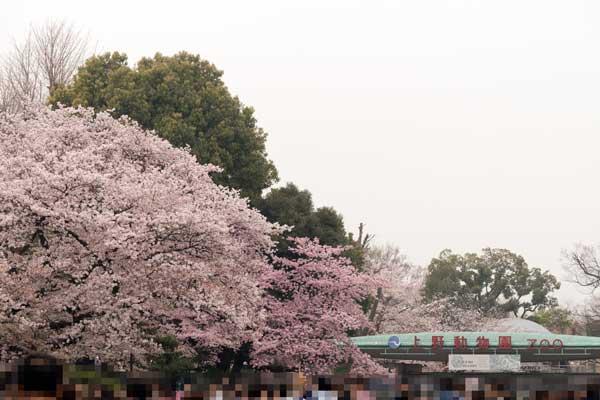 上野動物園 表門 桜