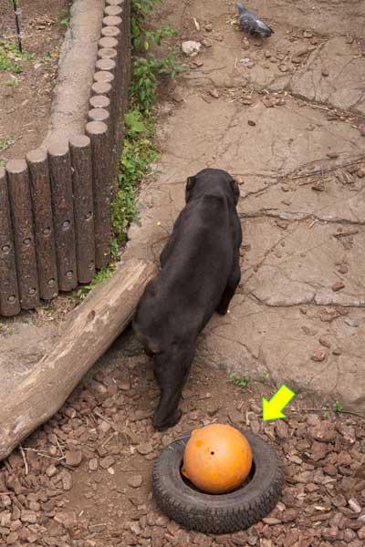 上野 動物園 マレーグマ アズマ