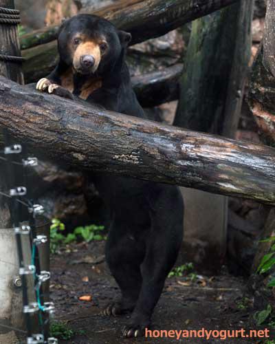 上野動物園 動物園 マレーグマ アズマ