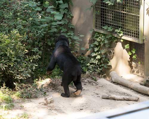 福岡市動物園 マレーグマ サニー