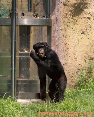 のいち動物公園 チンパンジー舎