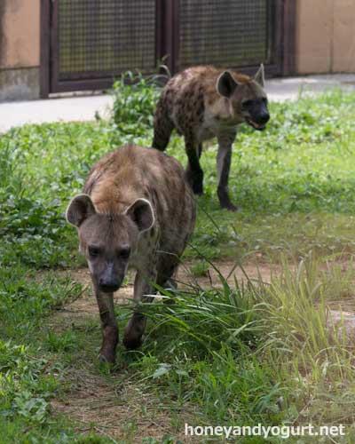 のいち動物公園 ブチハイエナ