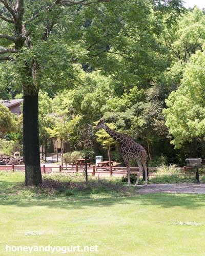 のいち動物公園 キリン