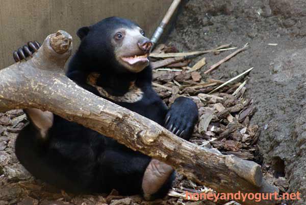 上野動物園 マレーグマ ウメキチ
